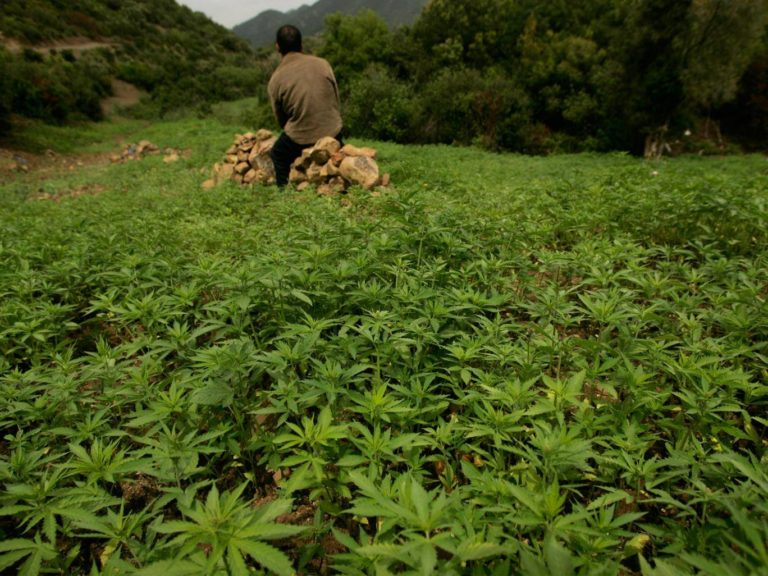 Cannabis used to grow wild in Europe but went extinct before first farmers arrived, research finds