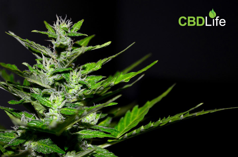 You are currently viewing The Difference Between Terpenes and Cannabinoids