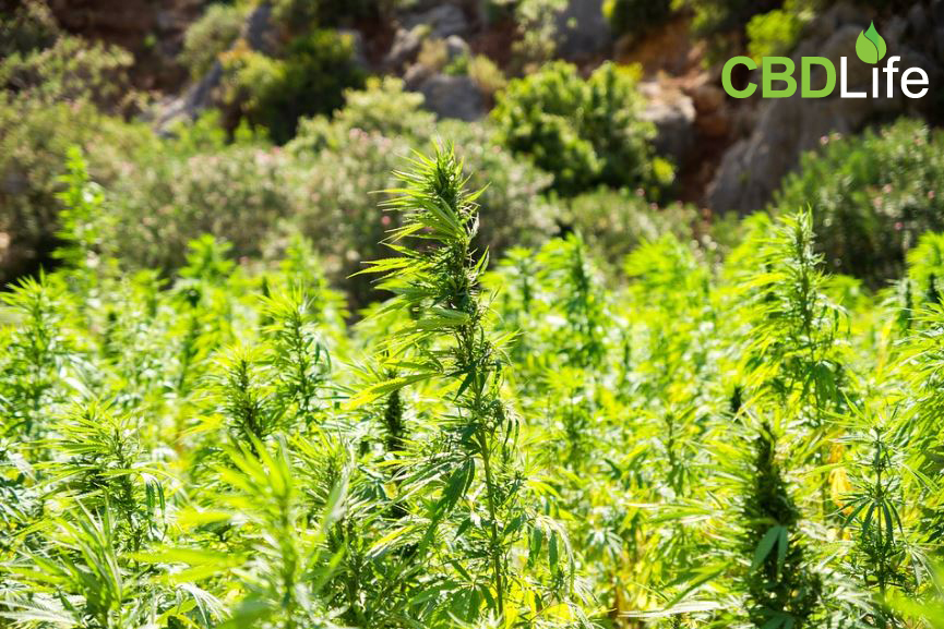 Read more about the article Do Plants Other Than Cannabis Contain Cannabinoids?